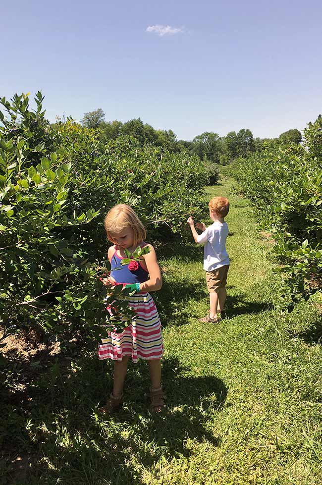 Blueberry picking for blueberry pie