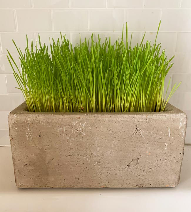 Cat Grass in a Planter