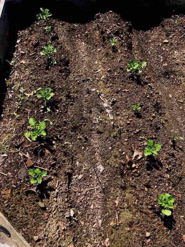 Potato plants in mounds of soil