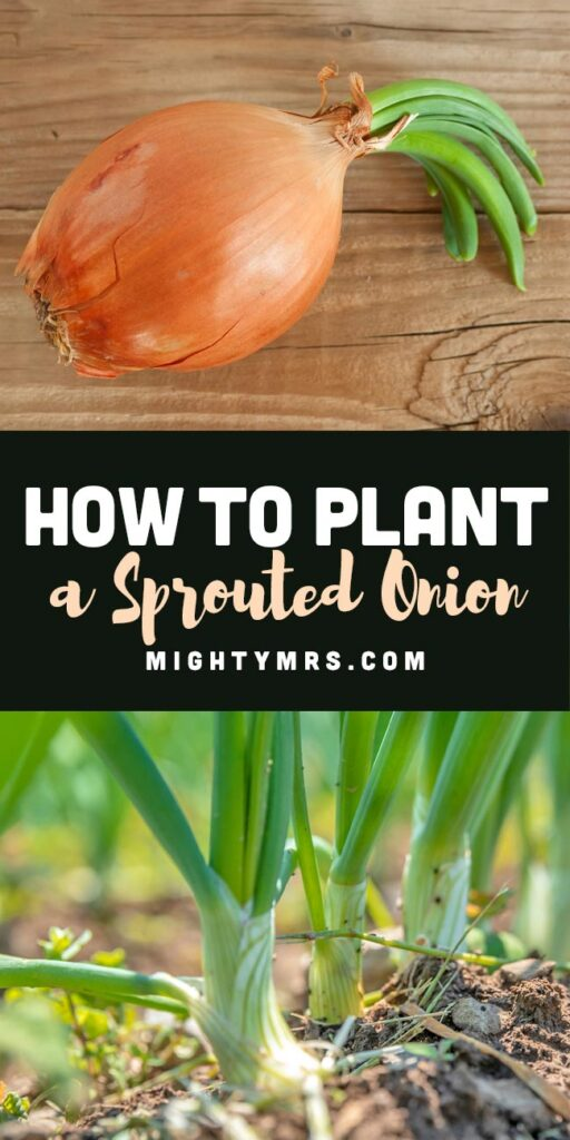 How to Plant a Sprouted Onion